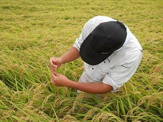 稲刈り前計測シーン-野田